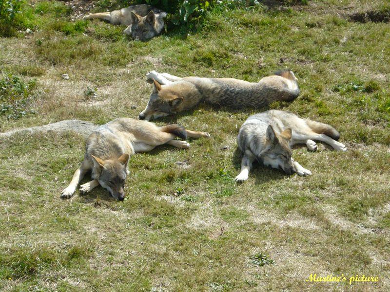Loups de Chabrières 5