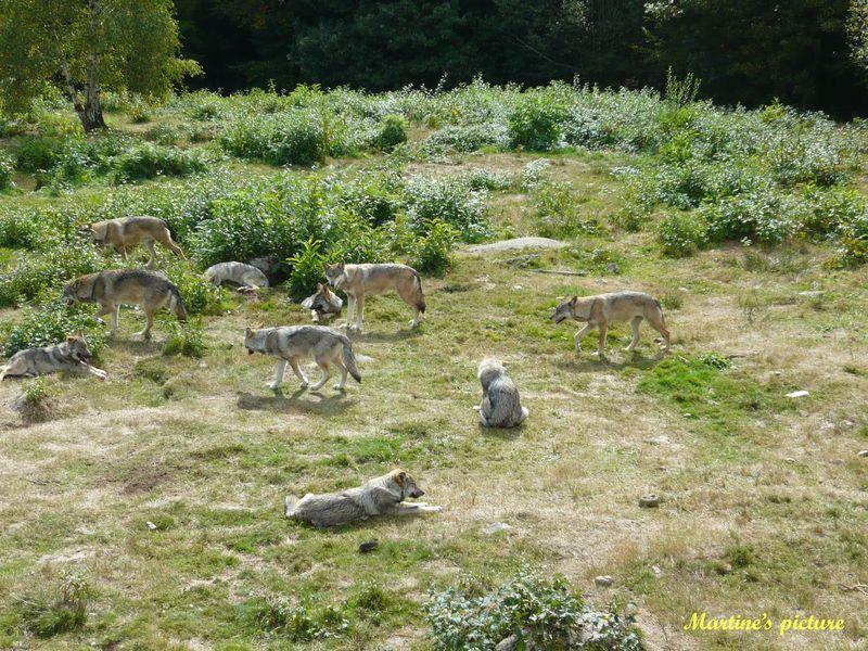 Loups de Chabrières 7