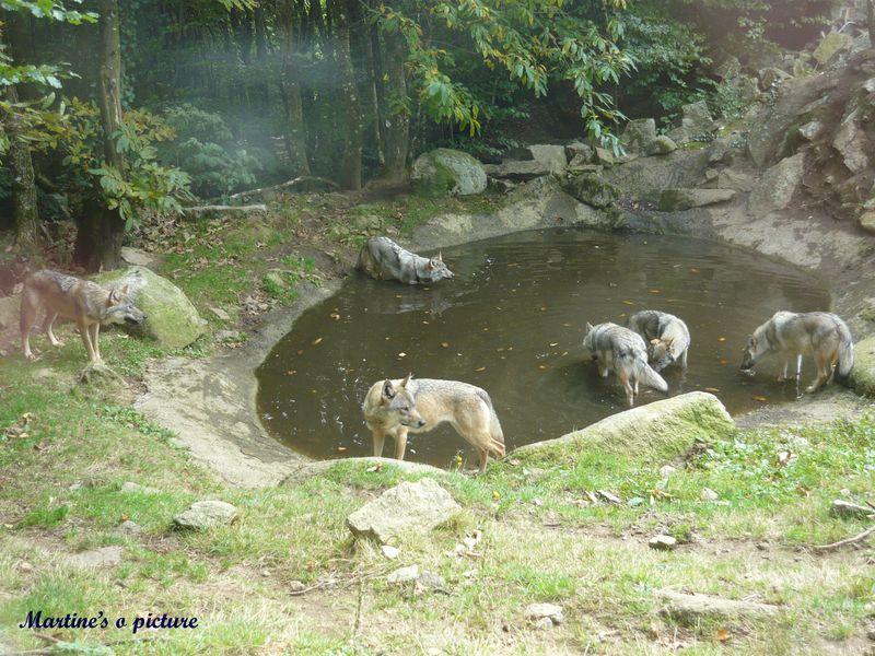 Loups de Chabrières 11