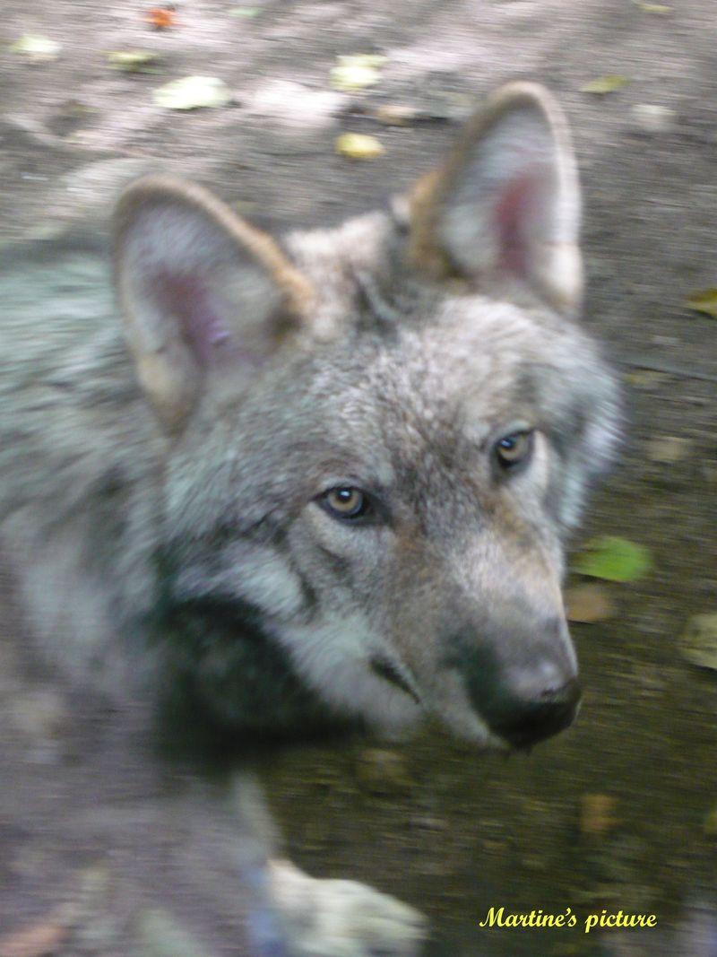 Loups de Chabrières 12