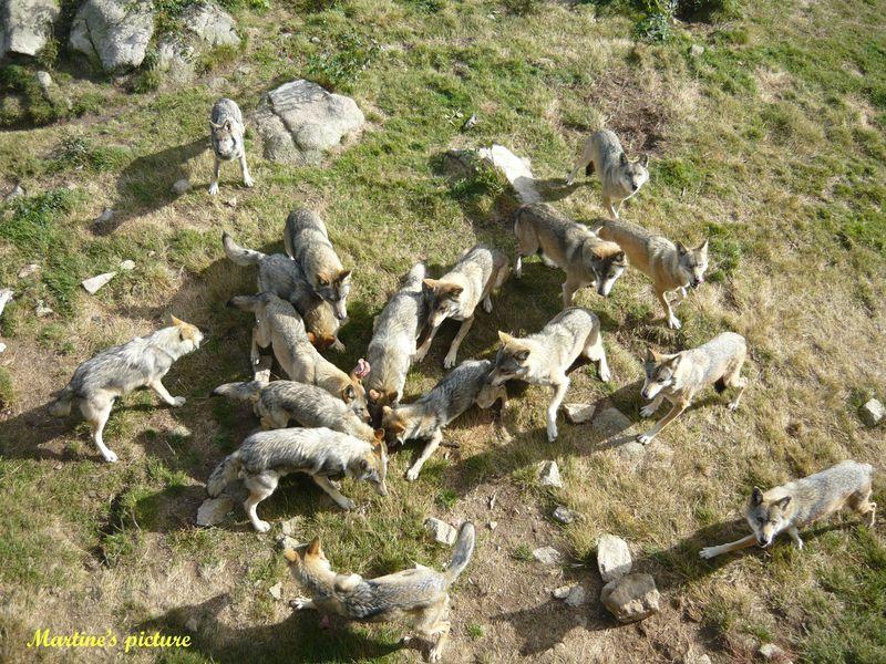 Loups de Chabrières 16