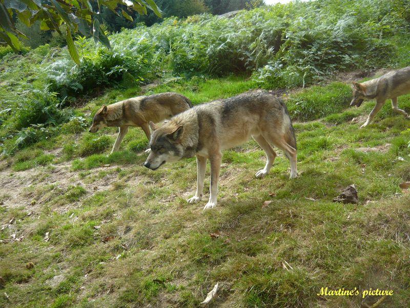Loups de Chabrières 1