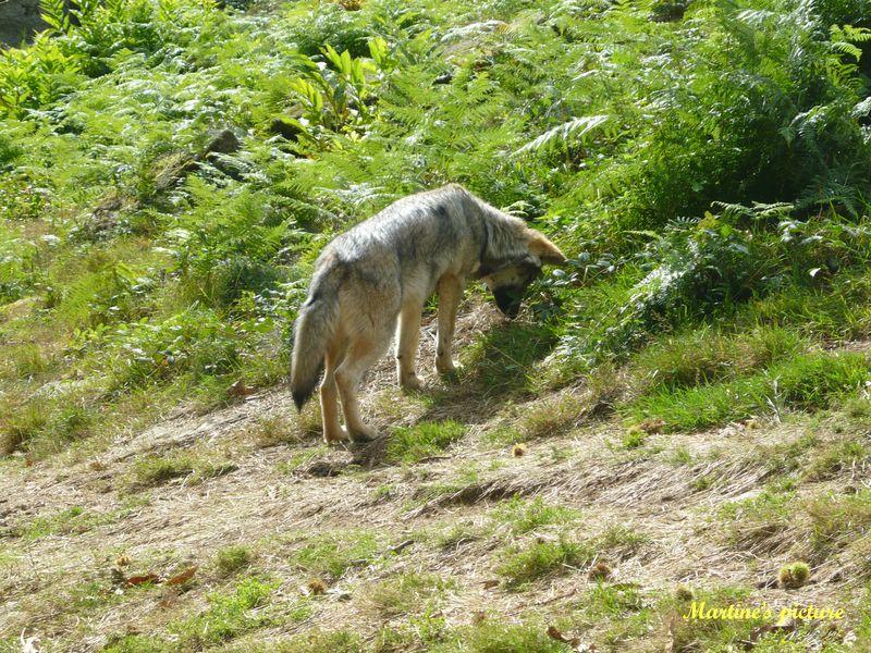 Loups de Chabrières 3