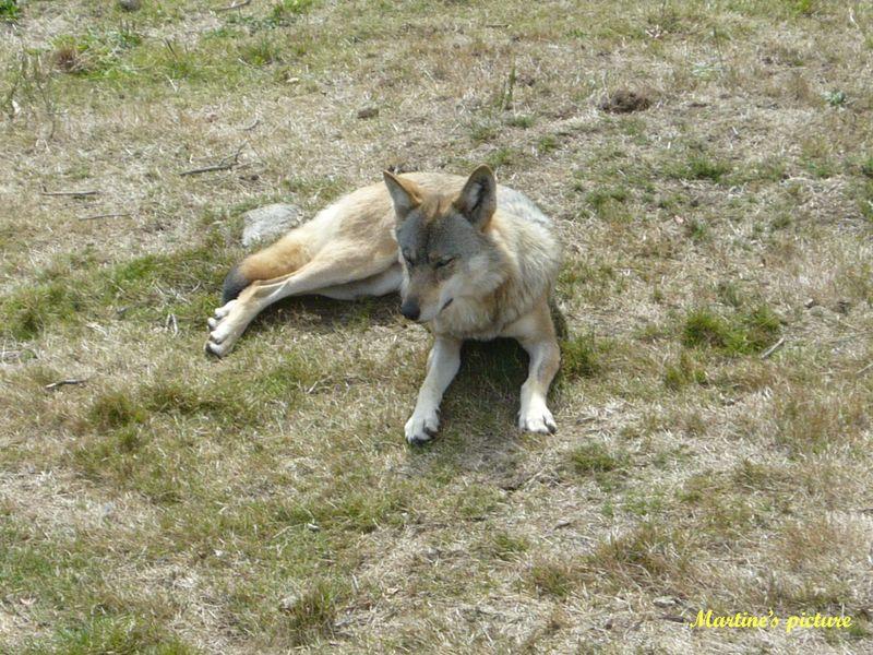 Loups de Chabrières 4