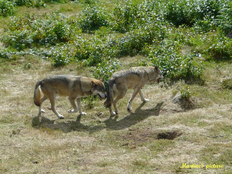 Loups de Chabrières 6