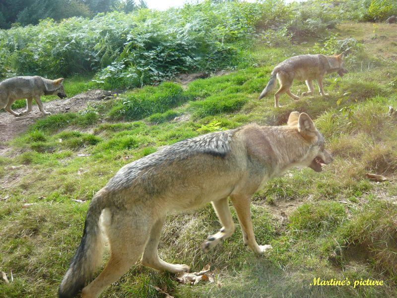 Loups de Chabrières 8