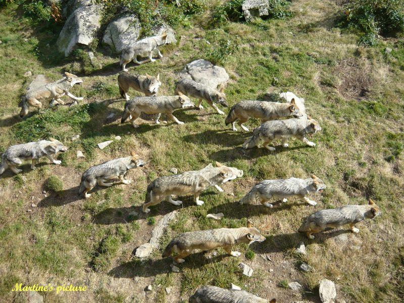 Loups de Chabrières 13