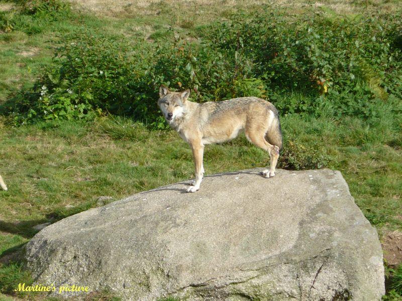 Loups de Chabrières 14